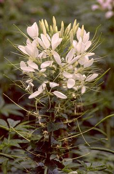Cleome aka Spider Flowers. My favorite annual flower. Planted in masses, they are so beautiful