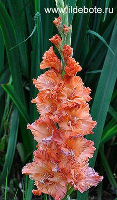 Gladiolus 'Crane Flock'