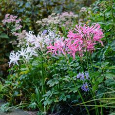 Beautiful morning colour from these nerines. These autumn-flowering bulbs don't like being disturbed so plant them where you're unlikely to need to move them