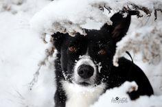 Luna im Winter Border Collie, Husky, Winter, Animals, Pictures, Winter Time, Animales, Animaux, Animais