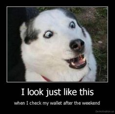 funny pics of Huskies | husky look just like this Funny dog photo with captions