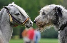 "Don't know a wolfhound's disposition, but every barn I've been at, there's at least one miniature pony, that all the big horses have to be steered WAY clear of, because they're all scared to death of the little demon. ""Irish Wolfhound nose to nose with pony--Celtic standoff"""