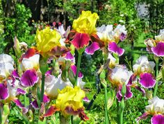 Tips on Irises in German from -neuer Gartentraum-: Schwertlilien - Bartiris