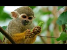 The squirrel monkeys are the New World monkeys of the genus Saimiri. They are the only genus in the subfamily Saimirinae. The name of the genus Saimiri is of. Primates, Mammals, New World Monkey, Year Of The Monkey, Amazon Rainforest Animals, Types Of Monkeys, Monkey Pictures, Animal Pictures, Animals Photos