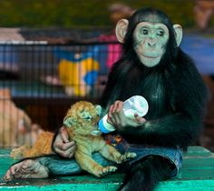 A golden tiger cub being bottle-fed by a chimp, who wears cut-off jean shorts. I WANT BOTH OF THEM.