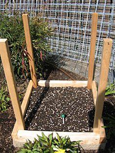 Taking the Soil Temp in Potato Tower