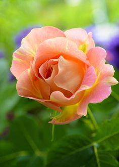 I love rose Paul Cezanne by Yuuji Nagaoka on 500px