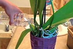 Gardening For Dummies: 9 Hobbyist Grower Secrets You Never Knew About Orchids Miltonia Orchid, Orchids In Water, Gardening For Dummies, Gardening Tips, Vol Au Vent, Orchid Pot, Growing Orchids, Water Me, Orchid Care