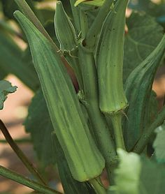 Okra - This heat-loving plant originates from West Africa and performs better when the soil is allowed to dry out between waterings. Nothing produces better in the dog days of summer than okra. Plant just a few seedlings in your garden and you will have a continuous supply of okra pods throughout the season.