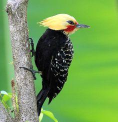 Woodpeckers (Picidae) Blond-crested Woodpecker (Celeus flavescens),  Author Lindolfo Souto Locality Itariri, São Paulo State, Brazil, Pica pau de cabeça amarela