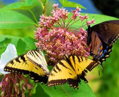 #Butterflies on the Blue Ridge Parkway in North Carolina