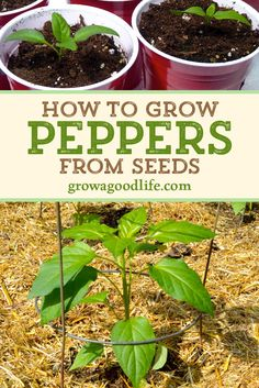 Peppers are easy to grow from seed, and can be started early indoors under lights and planted into the vegetable garden in spring. Get tips on growing peppers from seed for your vegetable garden. Spring Vegetable Garden, Small Vegetable Gardens, Starting A Vegetable Garden, Vegetable Garden For Beginners, Veg Garden, Vegetable Garden Design, Edible Garden, Gardening For Beginners, Gardening Tips