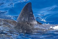 Dorsal fin of a great white shark breaks the surface as the shark swims just below. Guadalupe Island (Isla Guadalupe), Baja California, Mexico, Carcharodon carcharias, natural history stock photograph, photo id 19495
