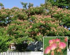 Stark Bro's EH Wilson Mimosa Tree.  I got two, one for the front yard and one for the orchard.  If one doesn't live, maybe the other will!