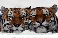 Happy (left) and Grumpy: Amur tigers nuzzle in their cage at the Leningrad Zoo in St. Petersburg, Russia.