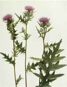 thistle - Google Search