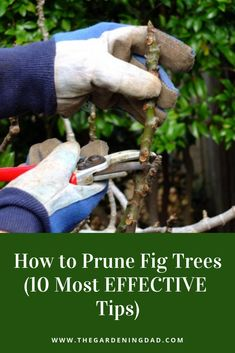How to prune fig trees most effective tips) – the gardening dad