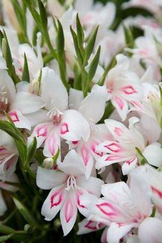 Gladiolus 'Nymph'