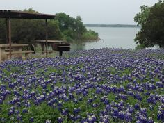 Texas bluebonnets at Koehne Park/Lake Waco... love those spring flowers!