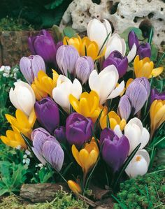 Bulbs and how to grow them, force them for winter beauty, and use in landscaping Crocus Bulbs, Iris Rhizomes, Garden Site, Bulbs For Sale, Bulb Flowers, Flower Pictures, Daffodils, Pretty Flowers, Spring Flowers