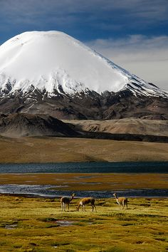 Vicuñas at Lago Chungara, Lauca National Park, Chile by Leonid Plotkin. The volcano in the background is Sajama. Volcanoes usually look so innocent. Places To Travel, Places To See, Places Around The World, Around The Worlds, Beautiful World, Beautiful Places, Beautiful Pictures, Les Continents, National Parks