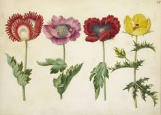 Beautiful watercolor botanicals of poppies by Simon Holtzbecker, 1660.