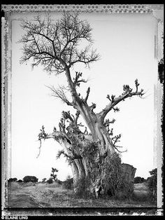 Elaine Ling - Baobab, Tree of Generations Baobab Tree, Travel Route, Life Is An Adventure, Tree Art, Norfolk, Nature, Drawings, Trees, Photography
