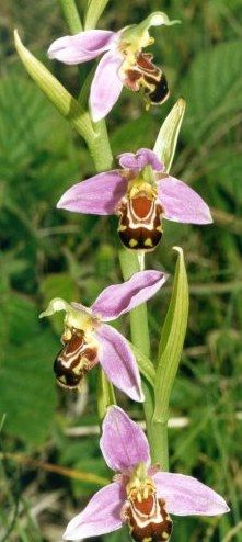 Bee Orchid found in my field today - June 2012