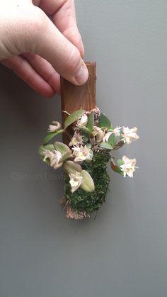Dendrobium pachyphyllum  (S.E. Asia)