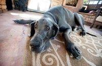 Morto il cane più grande del mondo