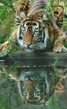 Felinos by Alyson Townsend Beautiful Cats, Animals Beautiful, Cute Animals, Wild Animals, Animals Amazing, Gorgeous Eyes, Baby Animals, Big Cats, Cats And Kittens