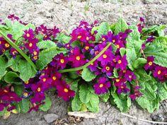 PRIMULA juliae 'Wanda' - Pudeprimula, farve: rødviolet, lysforhold: sol/halvskygge, højde: 10 cm, blomstring: maj.