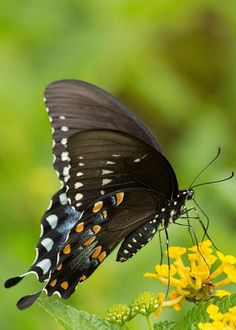 Black Swallowtail Greeting Card for Sale by Michelle Tinger Butterfly Pictures, Butterfly Flowers, Butterflies, Butterfly Chrysalis, Gossamer Wings, Moth, Fine Art America, Greeting Cards, Houseboats