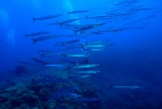 Diving in Pianosa Italy. Barracuda's. Diving centre Diving in Elba!!! Thousands of barracuda's