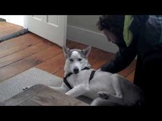 Blaze Loves His Kennel (Husky Says No to Kennel - Funny - with annotations) - YouTube