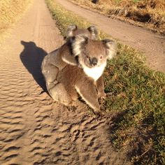 Why hello there! If you want to see a Koala the best place to go is Kennett River... but if your really lucky you will just stumble upon one wandering around! Have you seen a Koala before?