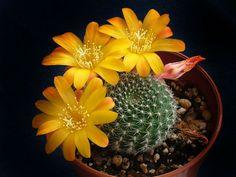 La Rebutia es un cactus de flor que puede cultivarse fácilmente y que comienza a florecer muy joven y lo hace de manera abundante. Sus flores son realmente llamativas y de colores intensos y brilla…