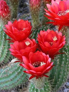 Echinopsis vatteri Add a splash of red to your garden using Echinopsis vatteri, an easy-growing cactus from South Africa. It's hardy in Zones 10-11. http://www.bhg.com/gardening/arboretums/desert-botanical-garden/?sssdmh=dm17.596433&esrc=nwdg04_10&email=4542149672