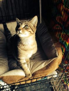 Rescued! Spalding County Animal Shelter Griffin GA-I'm Versace! I'm 6 months old & a beautiful brown tabby boy. I an a total lover & curious with everything. I'm good with other cats & would love to sleep under your Christmas tree. Come by to visit with me this weekend at Pet Smart in McDonough Ga in Henry cty & take photos w/ Santa Paws too!