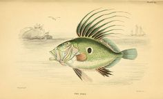 The natural history of British fishes 1843 In Memory Of Dad, Coral Print, Sea Art, Sea Fish, Sea Monsters, Fish Art, Illustration Art, Vintage Illustrations, Science And Nature