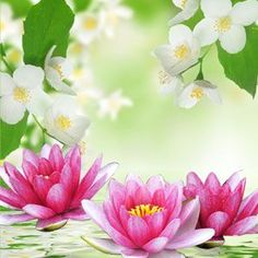 NG Water Lily & Jasmine Type Fragrance Oil is available at Natures Garden Scents. NG Water Lily & Jasmine fragrance oil is a strong wholesale aroma. Deodorant, Wholesale Fragrance Oils, Room Scents, Aroma Beads, Candle Making Supplies, Candlemaking, Organic Soap, Body Mist, Cold Process Soap