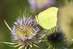 https://flic.kr/p/xvJSY7 | Brimstone Butterfly | They are commonly known as brimstones for the bright yellow colour of the wings of most species.