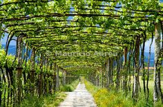 See our expert guide for the perfect Portugal road trip through country's largest wine region, Vinho Verde, stretching from Porto to the Spanish border. Minho, Champs, Verde Wine, In Vino Veritas, Garden Structures, Wine Country, Rotterdam, The Great Outdoors, Wineries