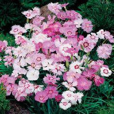 Sweetness Dianthus plumarius Garden Pink Flower Seeds