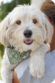 Poodle mixes rescue california
