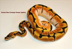 dream bee ball python - canadian breeder