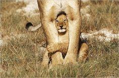 lion limbs.