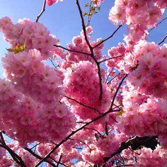 """Cherry blossom at Kungsträdgården (Swedish for """"King's Garden"""") a park in central Stockholm, Sweden."""