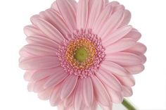 My favorite flower of all time...gerbera daisies in any shade of pink, but pale pink is my ulta-fave.