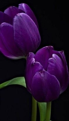 Purple Tulips, Tulips Flowers, Pretty Flowers, Pansies, Colorful Flowers, Flower Phone Wallpaper, Purple Wallpaper, Tulips Garden, Planting Flowers